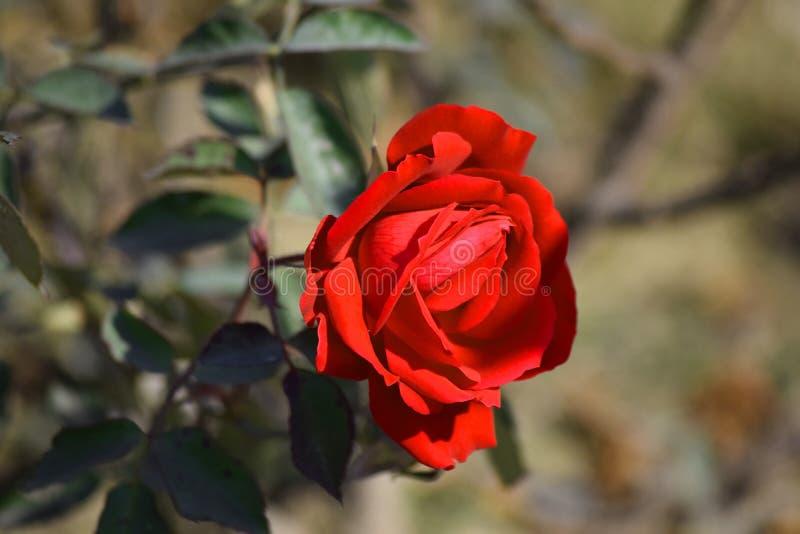 Czerwoni kwiaty z tło plamą zdjęcia royalty free