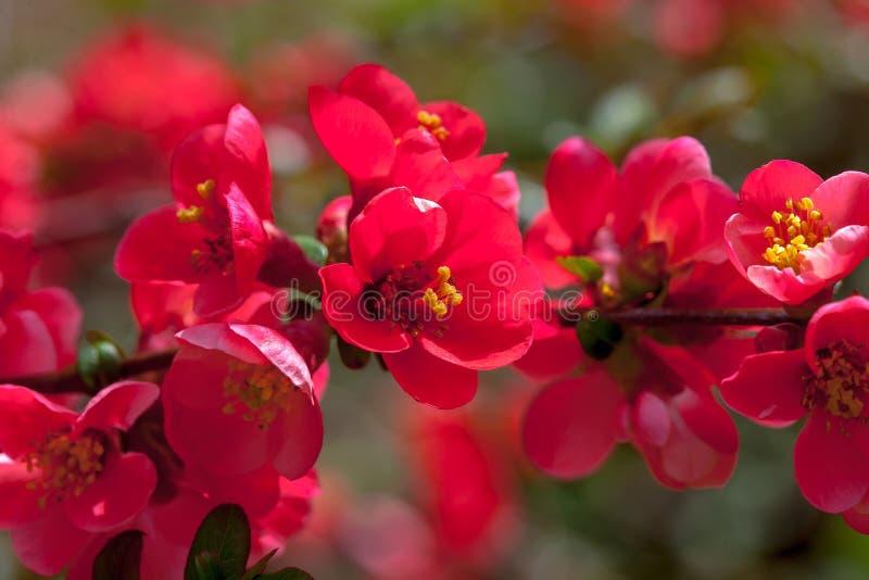 Czerwoni kwitnie pigwa kwiaty fotografia royalty free