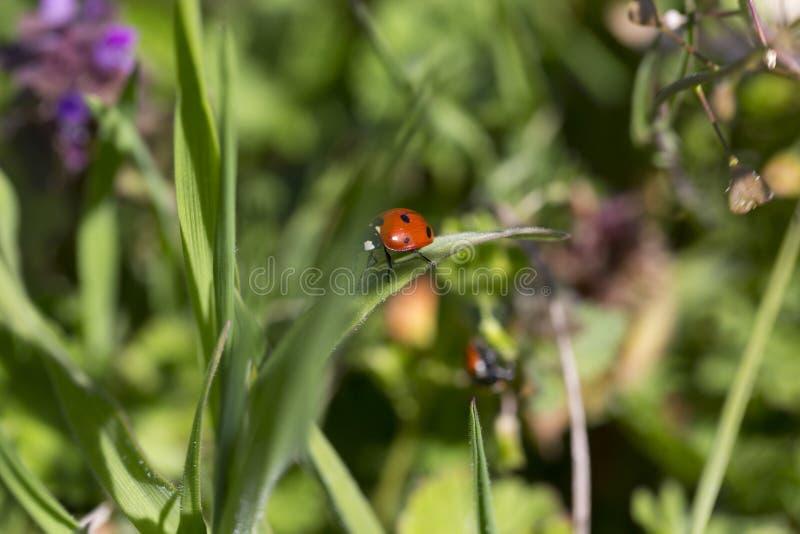 Czerwoni Ladybirds w miłości w zielonej naturze fotografia royalty free