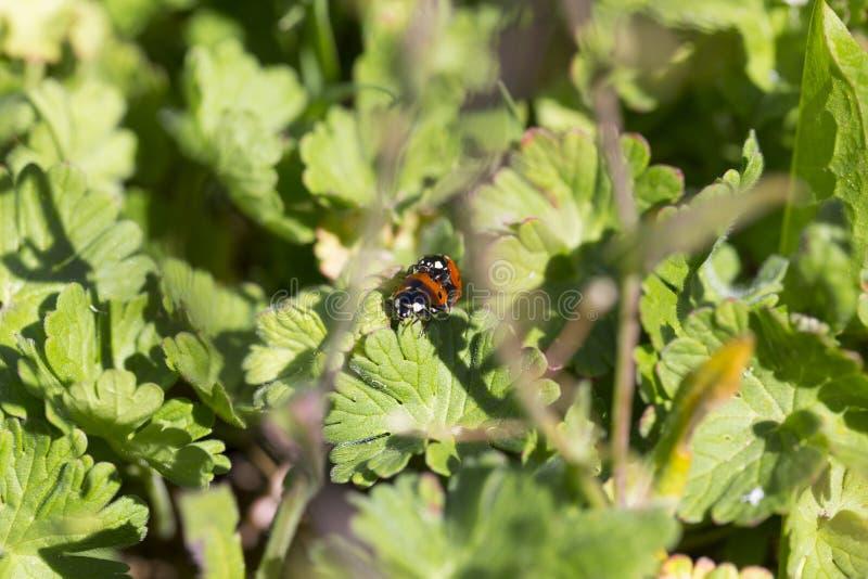 Czerwoni Ladybirds w miłości w zielonej naturze obraz royalty free