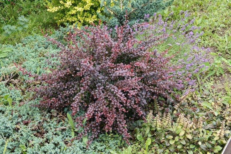 Czerwoni liście berberis thunbergii, Ciemnopąsowy pigmej lub Japoński berberys pospolity w wiosna ogródzie, obraz royalty free
