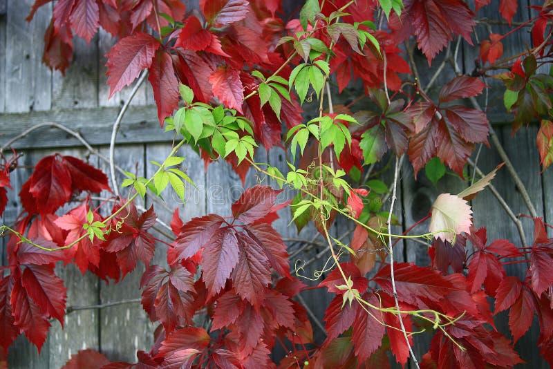 Czerwoni liście dekoracyjni winogrona na ścianie obrazy royalty free