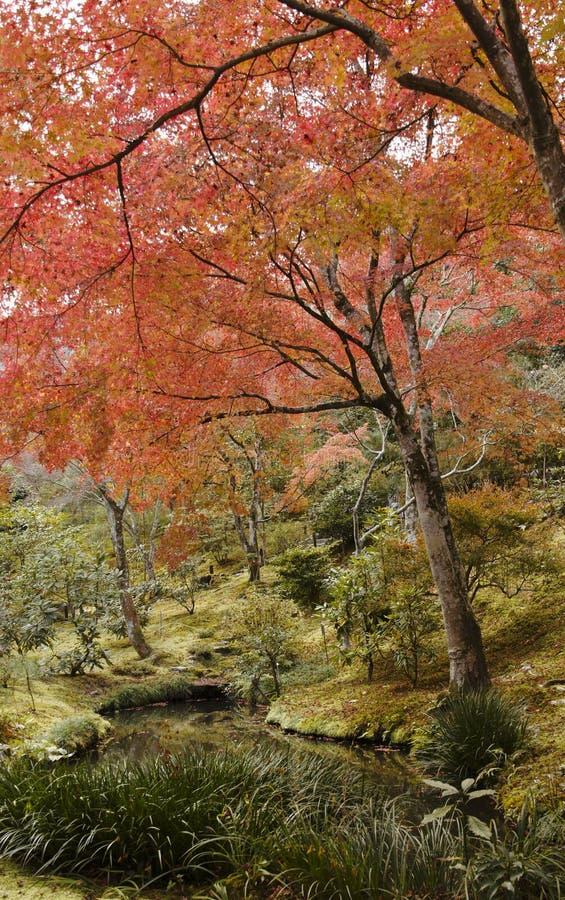 Czerwoni liście klonowi drzewo, jesień w Japonia obraz royalty free