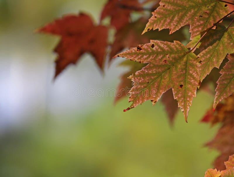 Czerwoni liście klonowi i Copyspace zdjęcia stock