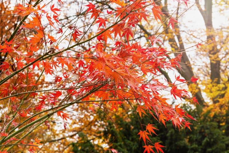 Czerwoni liście klonowi na drzewie fotografia royalty free
