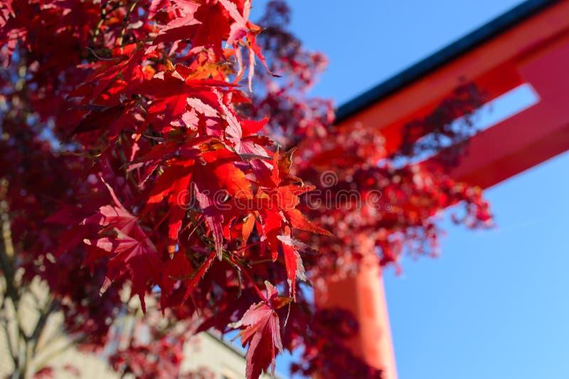 Czerwoni liście klonowi przy Japonia z świątyni niebieskim niebem i tłem obrazy stock