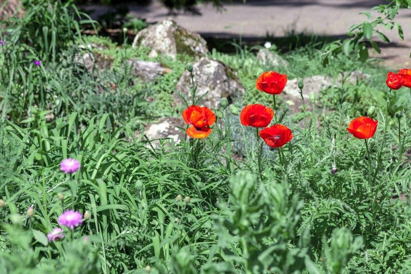 Czerwoni maczków kwiaty w trawie przy wiosny chałupą uprawiają ogródek zdjęcie stock