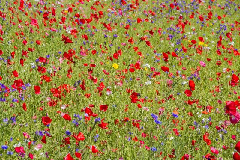 Czerwoni maczki i dzicy kwiaty obrazy stock