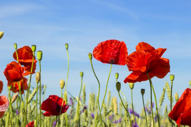 Czerwoni maczki przeciw niebieskiemu niebu, piękna łąka z wildflowers, natura krajobraz z polem, dzika wiosna kwitną fotografia stock