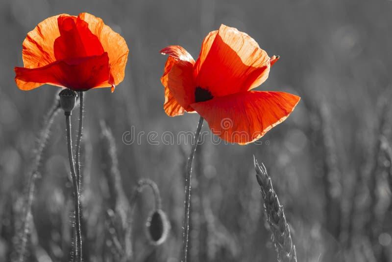 czerwoni maczki, selekcyjny kolor, czerwień i czerń, tylko zdjęcie royalty free
