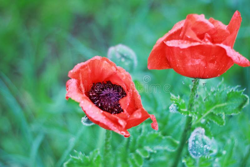 Czerwoni maczki w ogródzie w górę obrazy royalty free