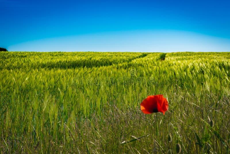 Czerwoni maczki w polu uprawnym w świetle słonecznym fotografia royalty free