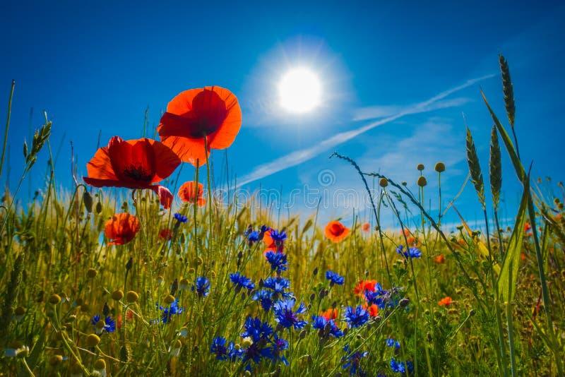 Czerwoni maczki w polu uprawnym w świetle słonecznym obraz stock