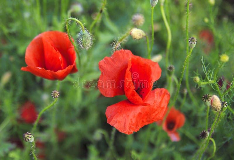 Czerwoni makowi kwiaty w nafcianego ziarna gwałta polach zdjęcie royalty free