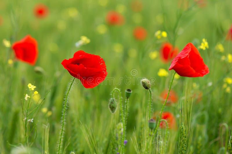 Czerwoni makowi kwiaty w nafcianego ziarna gwałta polach obrazy stock