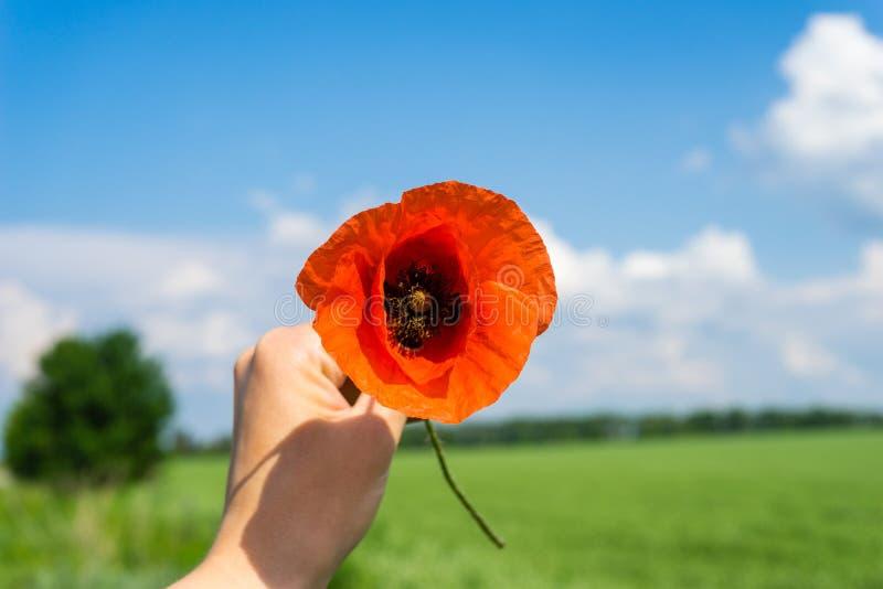Czerwoni makowi kwiaty w nafcianego ziarna gwałta polach zdjęcia royalty free