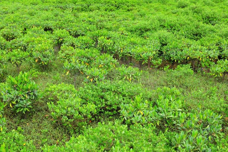 Czerwoni Mangrowe fotografia stock