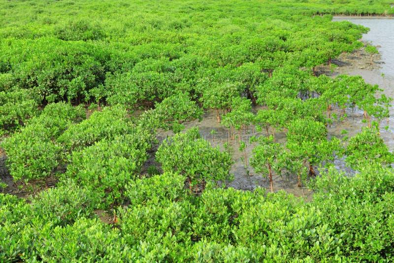 Czerwoni Mangrowe zdjęcia stock