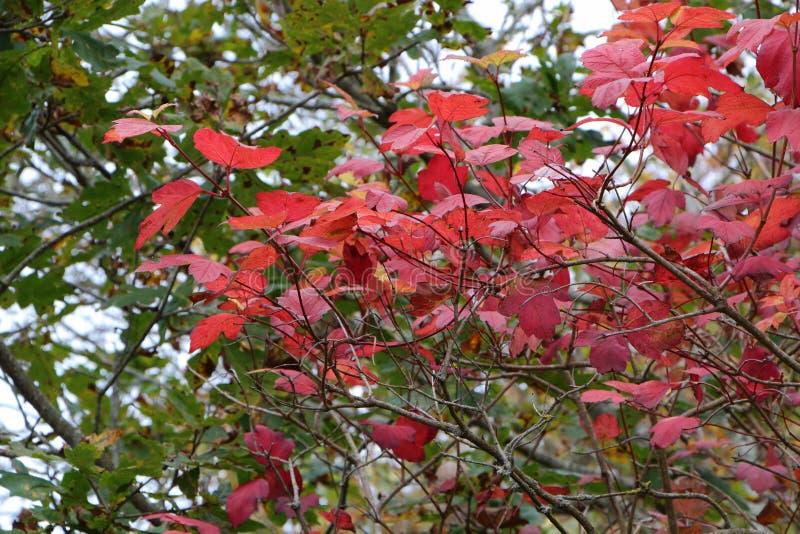 Czerwoni mapple liście podczas jesieni fotografia stock