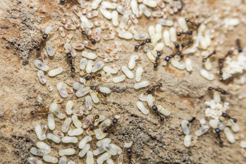 Czerwoni mrówek jajka zdjęcia stock