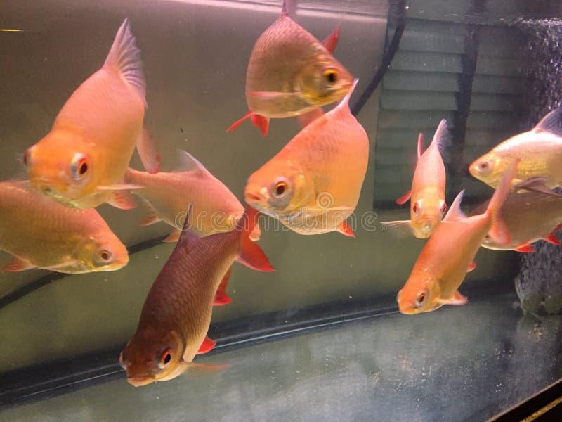 Czerwoni Ogoniaści Tinfoil barbety w akwarium fotografia royalty free