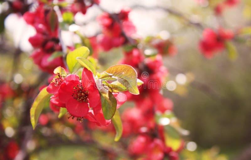 Czerwoni okwitnięcia kwiatonośna pigwa zdjęcie royalty free