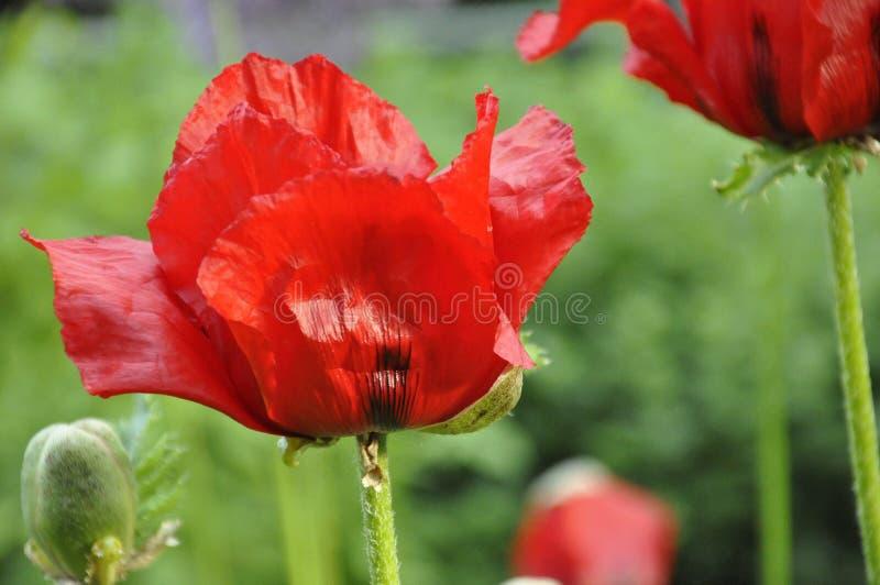Czerwoni Orientalnego maczka kwiaty zdjęcia royalty free
