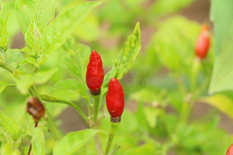 Czerwoni pieprze na drzewie zdjęcia stock