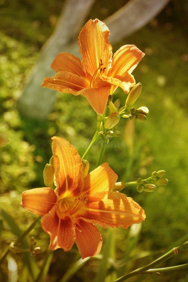 Czerwoni pomarańczowi daylilies, Hemerocallis w ogródzie zdjęcie royalty free