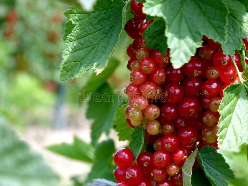 Czerwoni rodzynki z zielonymi liśćmi na krzaku 2 obrazy royalty free