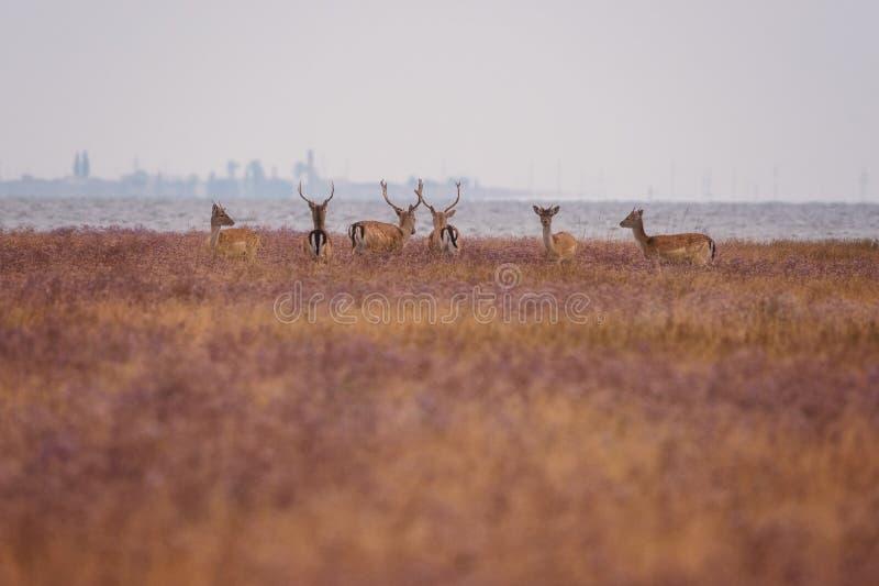 Czerwoni rogacze w dzikiej naturze, piękny stepu krajobraz z stadem jeleni Cervus Elaphus fotografia stock