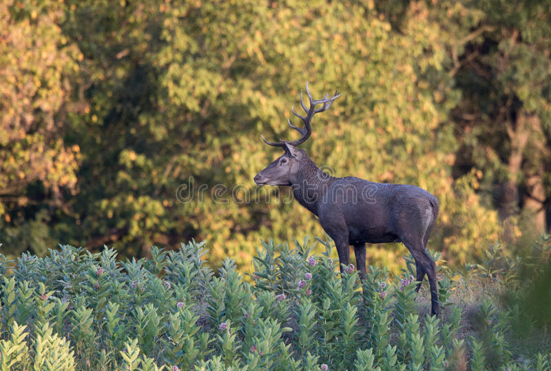 Czerwoni rogacze w lesie fotografia royalty free