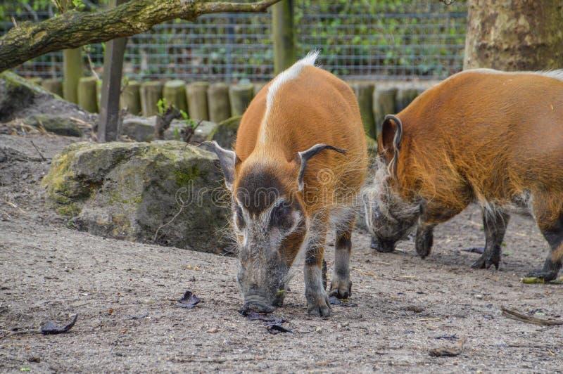 Czerwoni Rzeczni wieprze Przy Artis zoo Amsterdam holandie fotografia royalty free