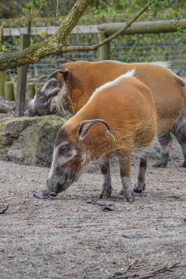 Czerwoni Rzeczni wieprze Przy Artis zoo Amsterdam holandie obrazy stock