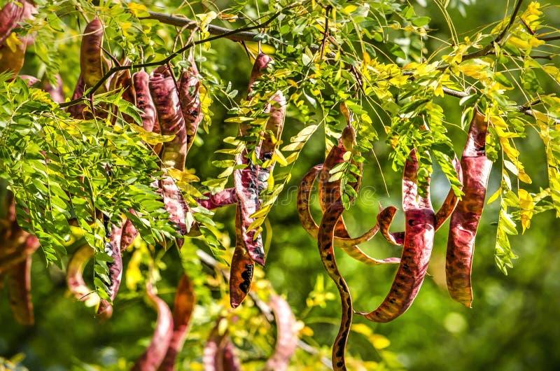 Czerwoni strąki miodowa szarańcza obraz stock