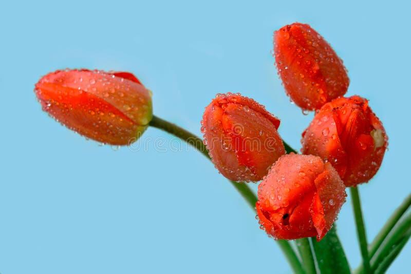 Download Czerwoni tulipany zdjęcie stock. Obraz złożonej z piękno - 53779796