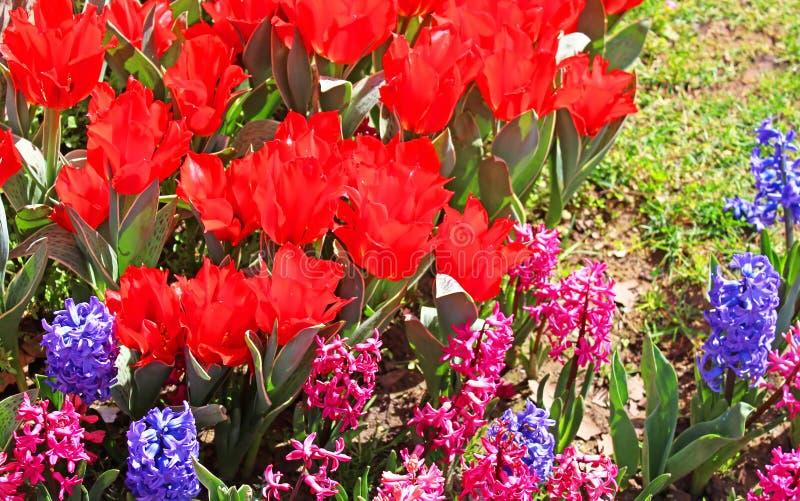 Czerwoni tulipany i hiacynty w Istanbuł, Turcja zdjęcie royalty free