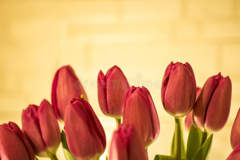 Czerwoni tulipany na złocistym tle zdjęcie stock