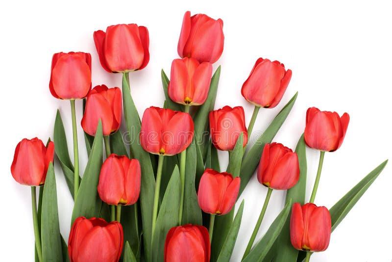 Czerwoni tulipany odizolowywający na białym tle Odgórny widok Mieszkanie nieatutowy wzór obrazy stock