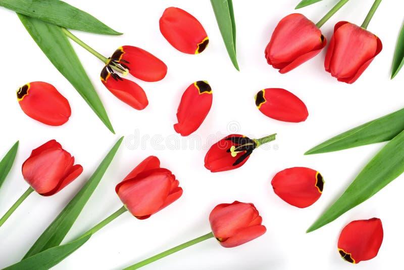 Czerwoni tulipany odizolowywający na białym tle Odgórny widok Mieszkanie nieatutowy wzór obraz royalty free