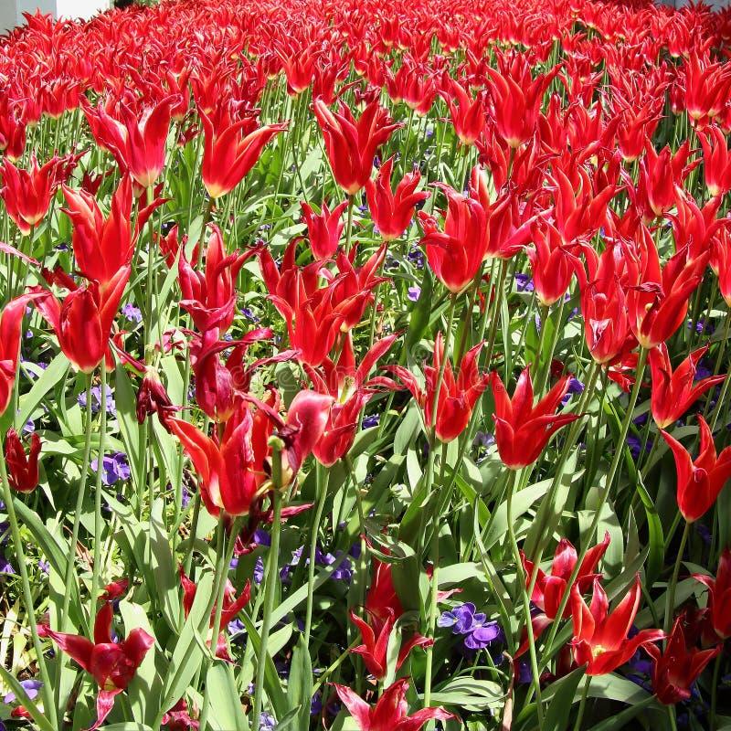 Czerwoni tulipany przy Topkapi pałac, Istanbuł obrazy stock