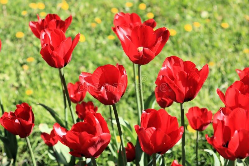 Czerwoni tulipany, trawa i dandelions, obrazy stock