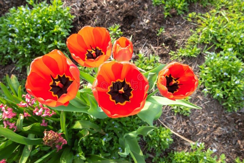 Czerwoni tulipany z płytką głębią pole na wiosna ranku obraz royalty free