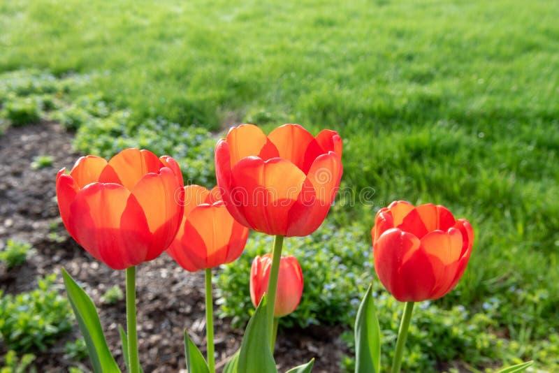 Czerwoni tulipany z płytką głębią pole na wiosna ranku zdjęcie royalty free