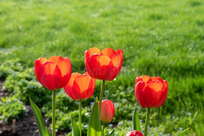 Czerwoni tulipany z płytkim deoth pole na wiosna ranku zdjęcie royalty free