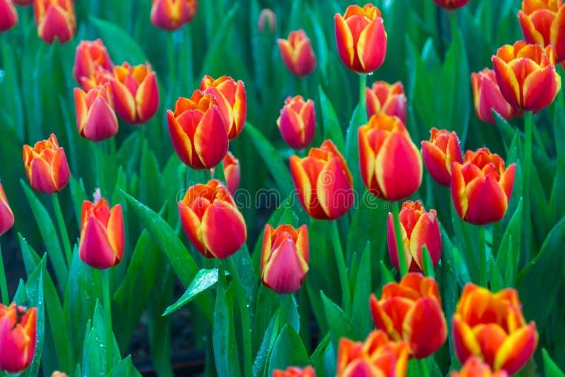 Czerwoni tulipany z pięknym bukieta tłem fotografia stock