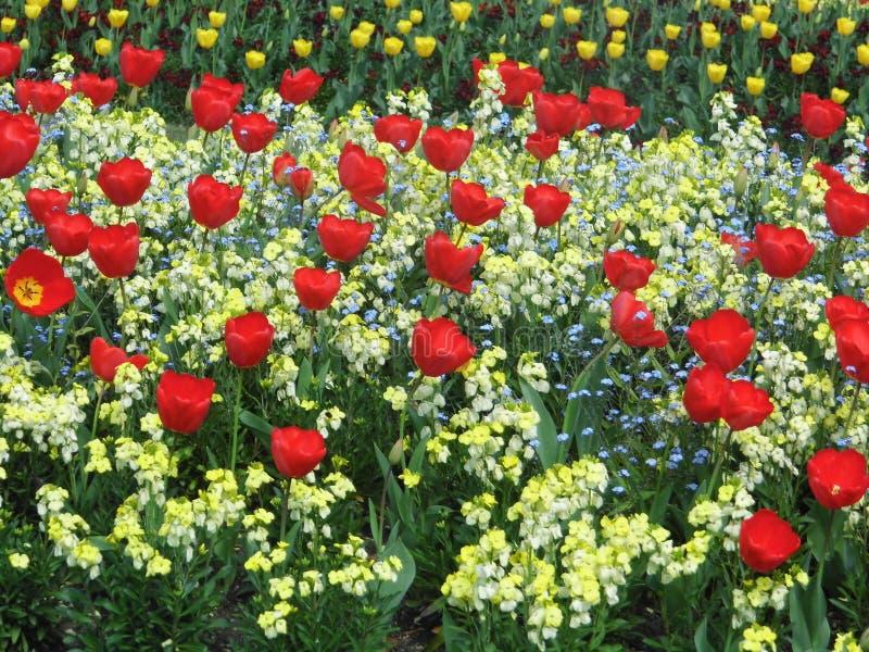 Czerwoni tulipe kwiaty obrazy royalty free