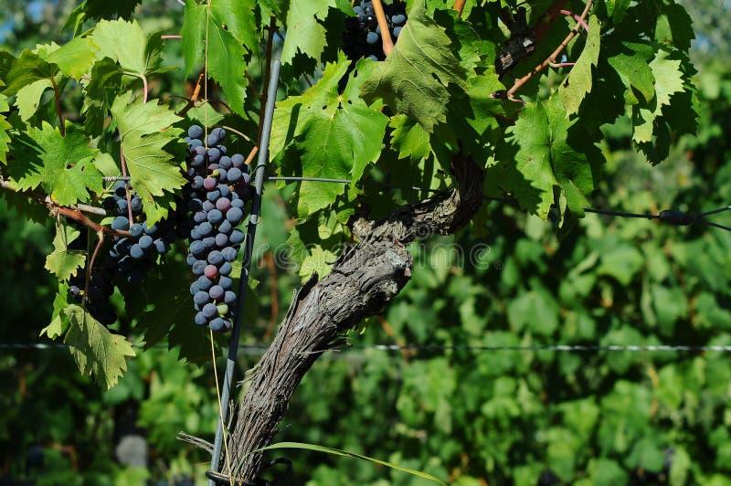 Czerwoni winogrona na winnicach w Chianti regionie tuscany zdjęcie royalty free