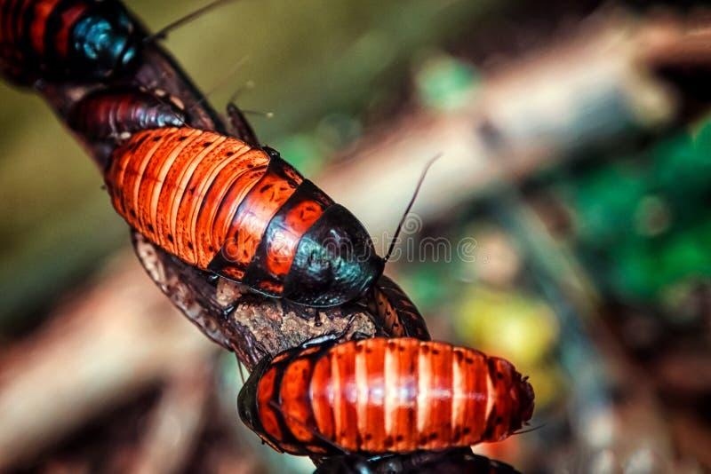 Czerwonobrunatni wielcy Madagascar karakany fotografia stock