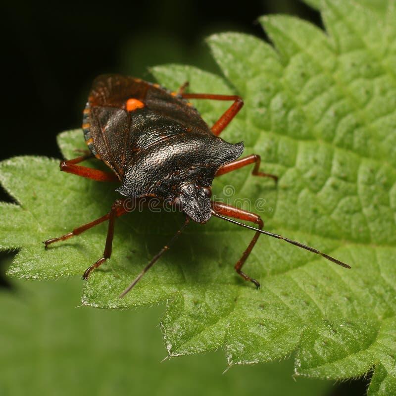 Czerwononodzy shieldbug Pentatoma rufipes lub zdjęcie royalty free